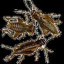 crickets random