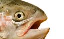 salmon says random