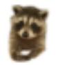 polite raccoon random