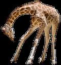bow giraffe random