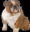 bulldog random
