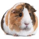 guinea pig random
