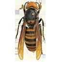 murder hornet random