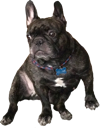 french bulldog random